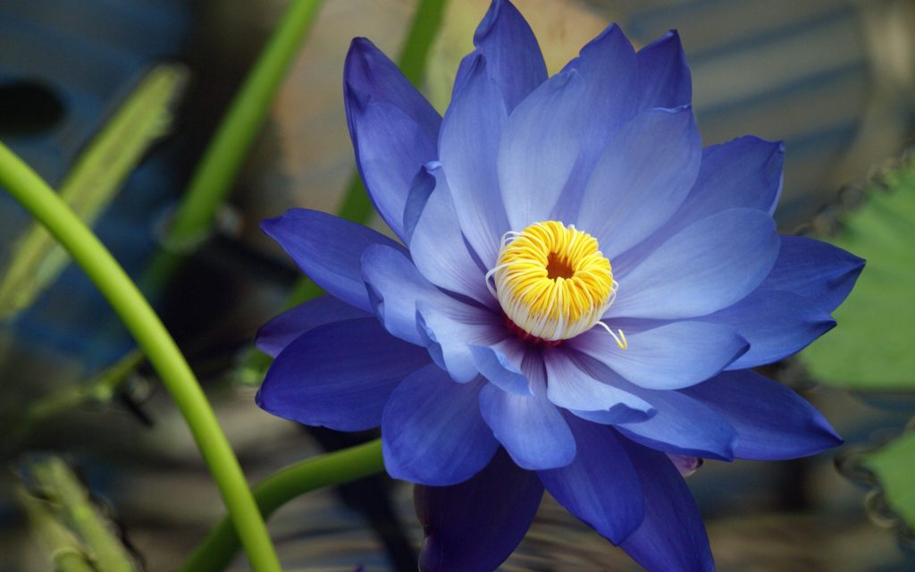 Flowers-Macro-Lotus-Flower-Blue-Flowers-Fresh-New-Hd-Wallpaper